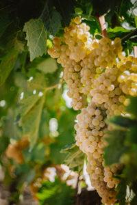 Le nostre uve baciate dal sole